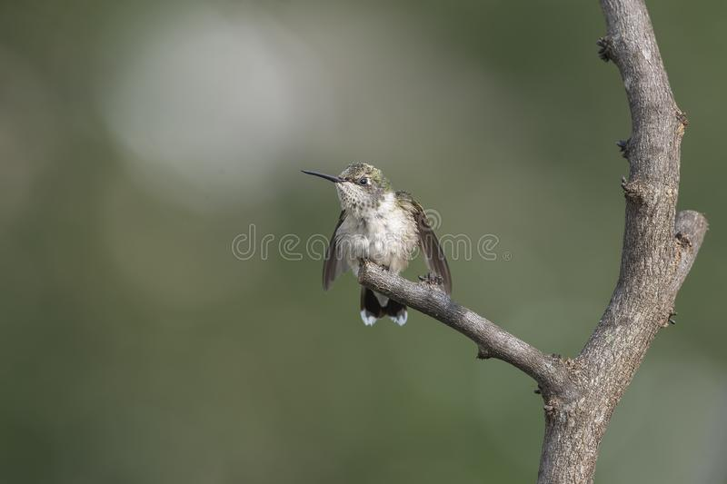 Should I stay or should I go. Juvenile male Ruby-throated Hummingbird, Archilocus colubris, perched in the garden trying to decide if it is safe to stay on his stock image