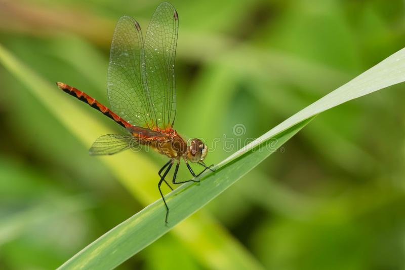 Meadowhawk Dragonfly - Sympetrum species royalty free stock image