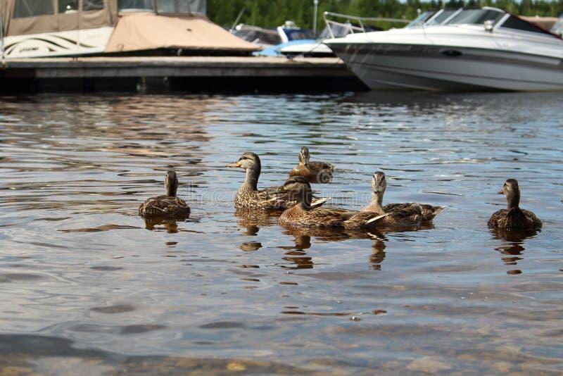 Juvenile mallard duck swimming alongside the boat. At the marina stock images
