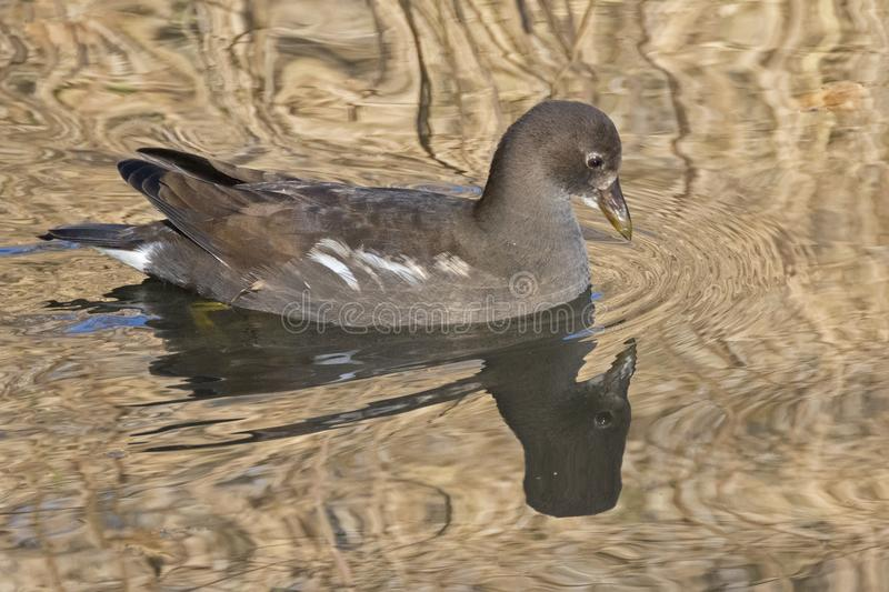 Download A Juvenile Moorhen On Southampton Common Stock Image - Image of reflection, golden: 104500463