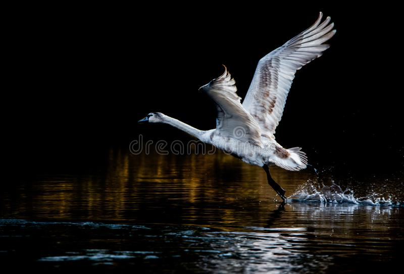 Juvenile mute swan starting from the lake fotos de archivo