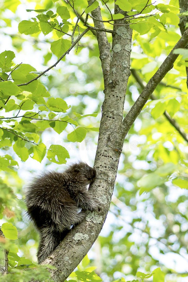 Juvenile North American Porcupine. The North American Porcupine is a large rodent with a stocky body and small face. An adult porcupine has a coat consisting of royalty free stock photography