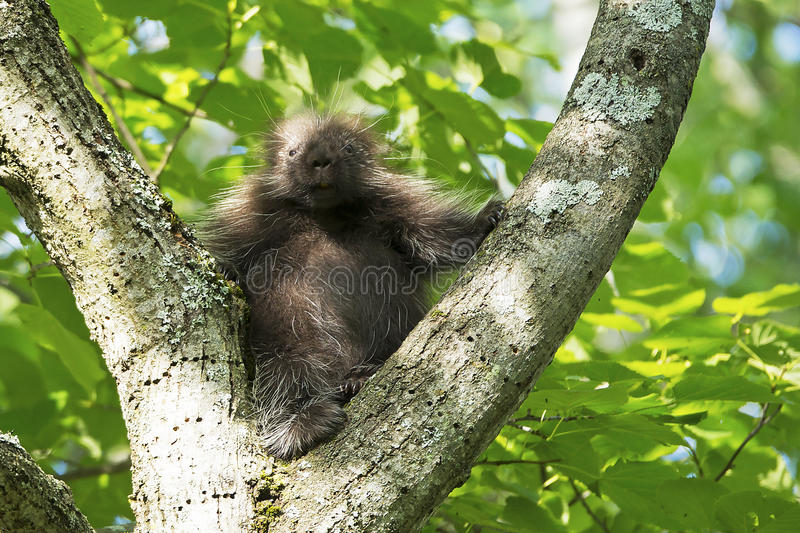 Juvenile North American Porcupine. The North American Porcupine is a large rodent with a stocky body and small face. An adult porcupine has a coat consisting of stock photos