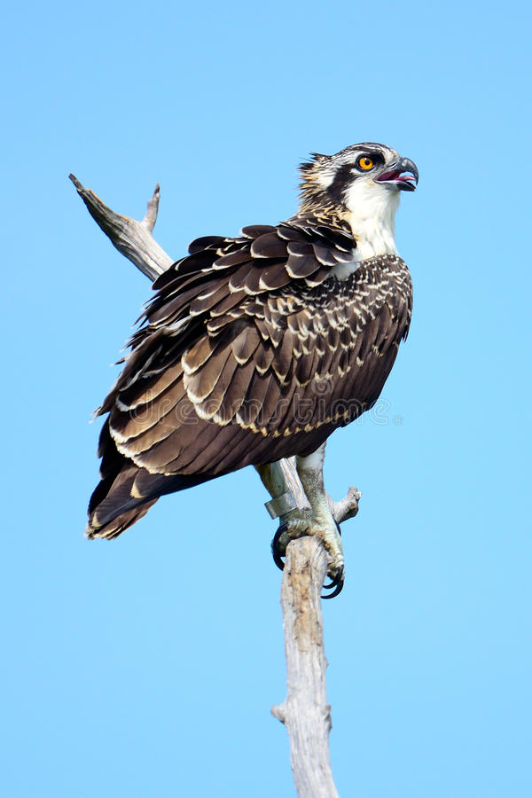 Juvenile Osprey Royalty Free Stock Images