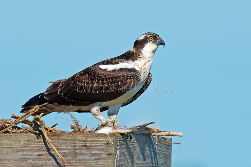 Download Juvenile Osprey stock image. Image of haliaetus, hawk - 33447885