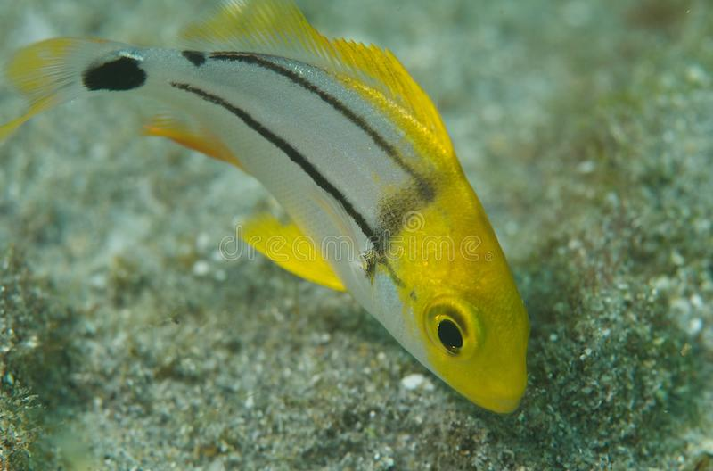 Juvenile Porkfish-Anisotremus virginicus. Picture taken in south east Florida stock photography