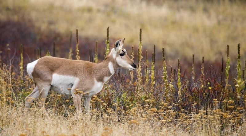 Juvenile Pronghorn Antilocapra americana stock images