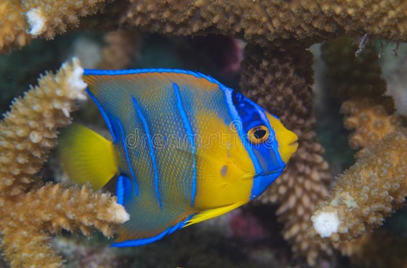 Juvenile Queen Angelfish-Holocanthus ciliaris. Queen Angelfish(Holacanthus ciliaris) hiding in staghorn coral picture taken in south east Florida stock image