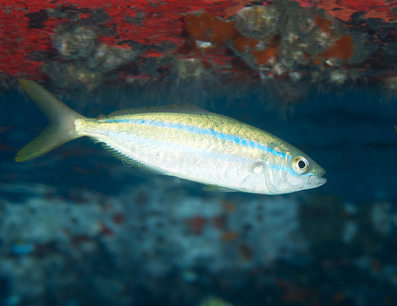 Juvenile Rainbow Runner. Elagitis bipinnulata, picture taken underneath a moored boat in Palm Beach County Florida stock images