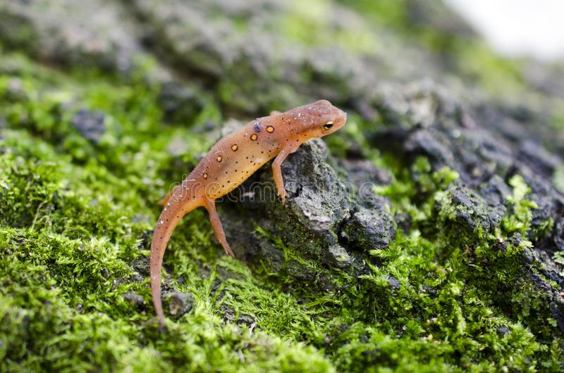 Eastern Spotted Newt, Red eft salamander on green moss royalty free stock image