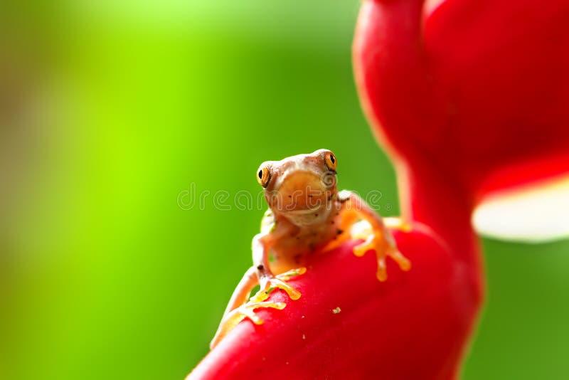 Download Juvenile Red-eyed Tree Frog Stock Photo - Image of juvenile, closeup: 20777558
