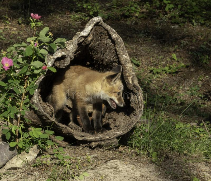 Juvenile Red Fox Inside a Hollowed Log royalty free stock photo