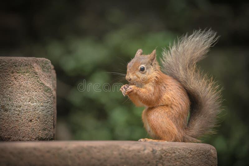 Download Juvenile Red Squirrel stock image. Image of wildlife - 33302275