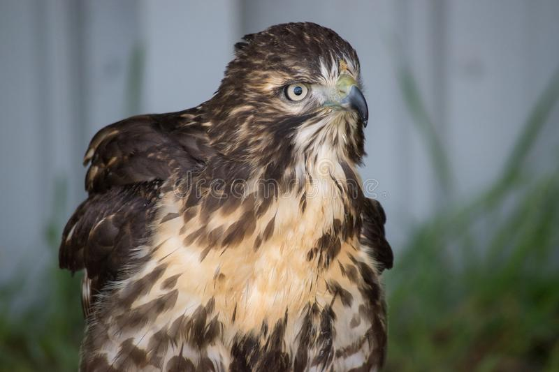 Juvenile Red Tail Hawk (Buteo Jamaicensis) is a bird of prey in. North America stock image