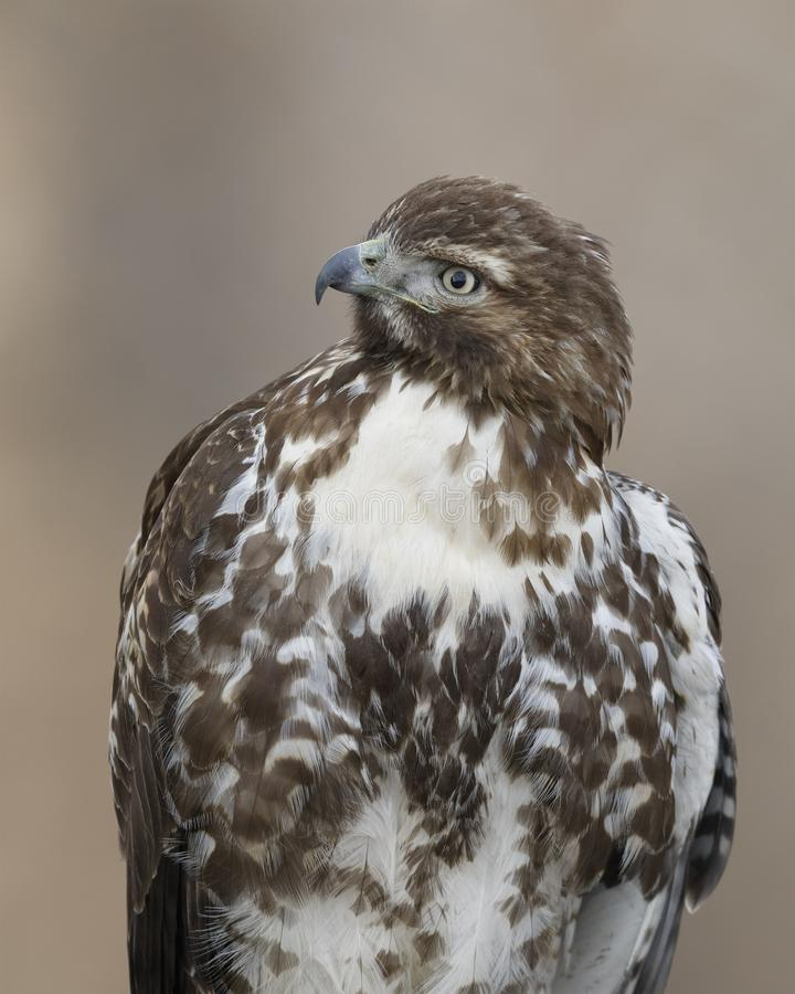 Juvenile Red-tailed Hawk - Bosque del Apache NWR, New Mexico royalty free stock photo