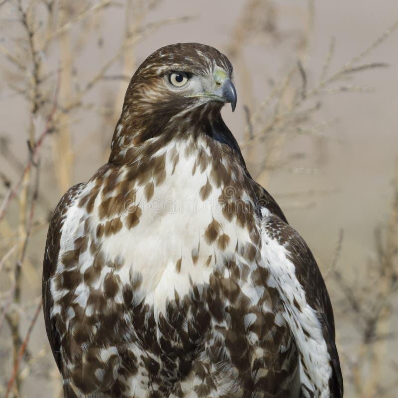Juvenile Red-tailed Hawk - Bosque del Apache NWR, New Mexico. Juvenile Red-tailed Hawk Buteo jamaicensis - Bosque del Apache National Wildlife Refuge, New Mexico stock image