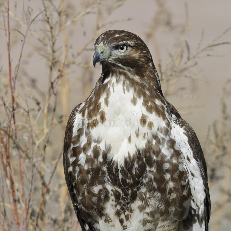 Juvenile Red-tailed Hawk - Bosque del Apache NWR, New Mexico royalty free stock photography