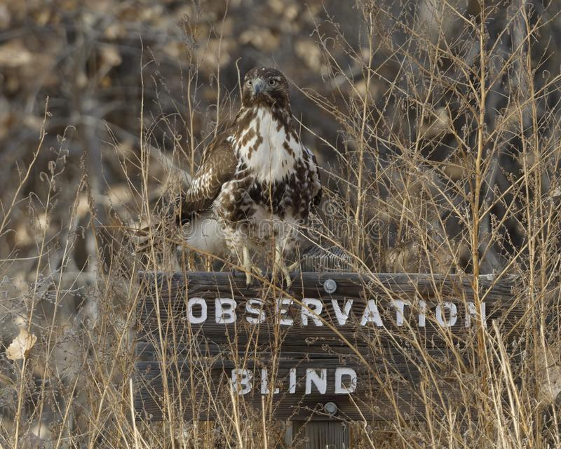 Juvenile Red-tailed Hawk perched on a sign for an Observation Blind - New Mexico stock photography