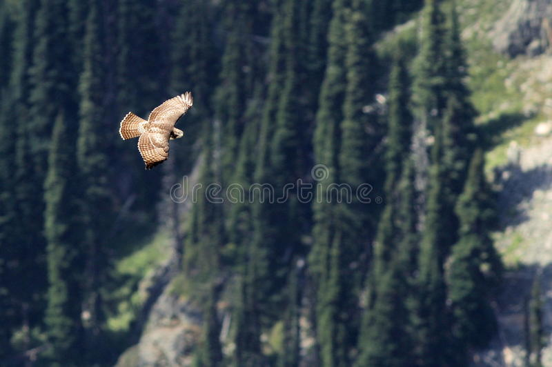 Juvenile Red-tailed Hawk Soaring in the Mountains stock image