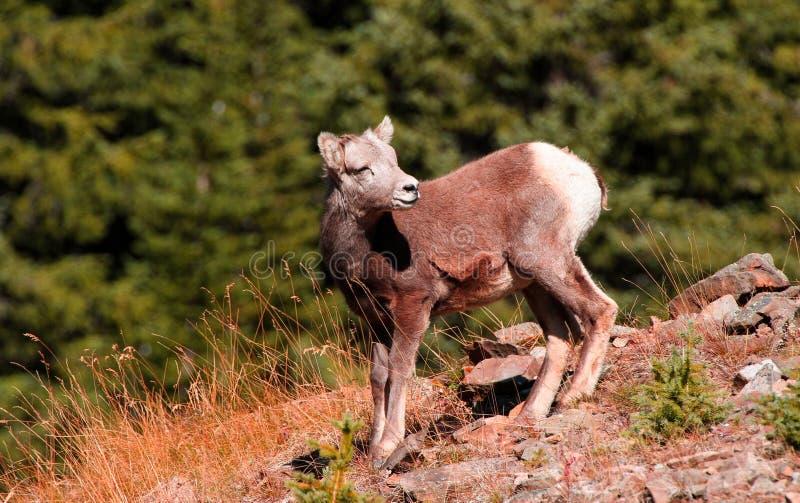 Juvenile Rocky Mountain Sheep enjoying the sun! royalty free stock photography