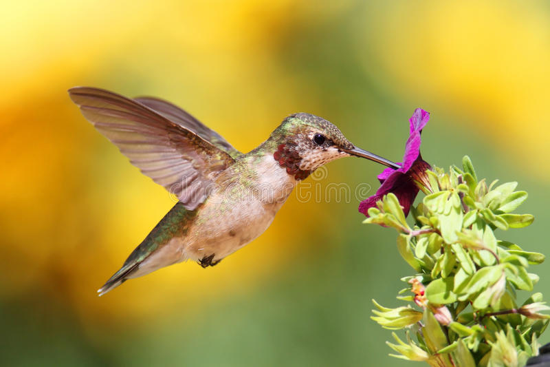 Juvenile Ruby-throated Hummingbird stock photo