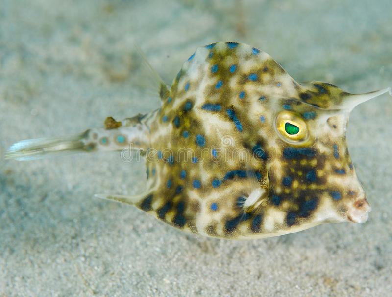 Juvenile Scrawled Cowfish. Lactophyrs quadricomis, picture taken on a sandy bottom in Palm Beach County Florida stock photo