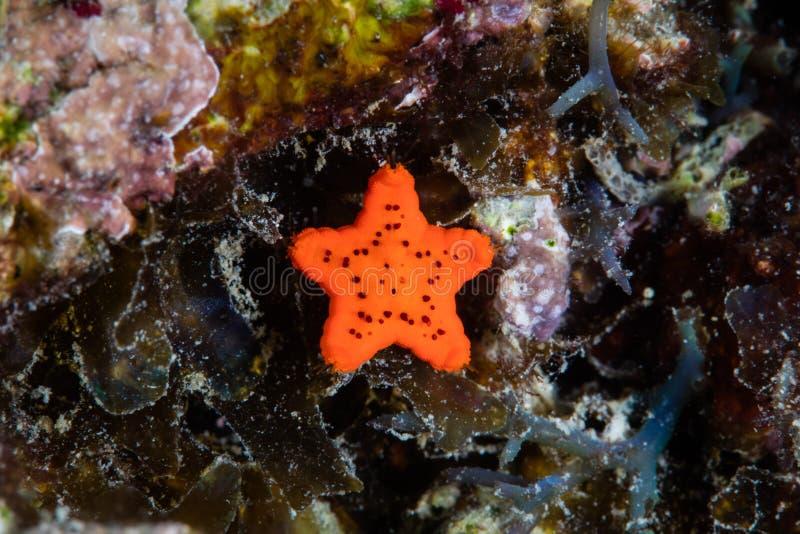 Juvenile Sea Star on Reef i Indonesien arkivbild