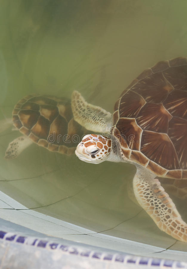Juvenile Sea Turtles Stock Photography