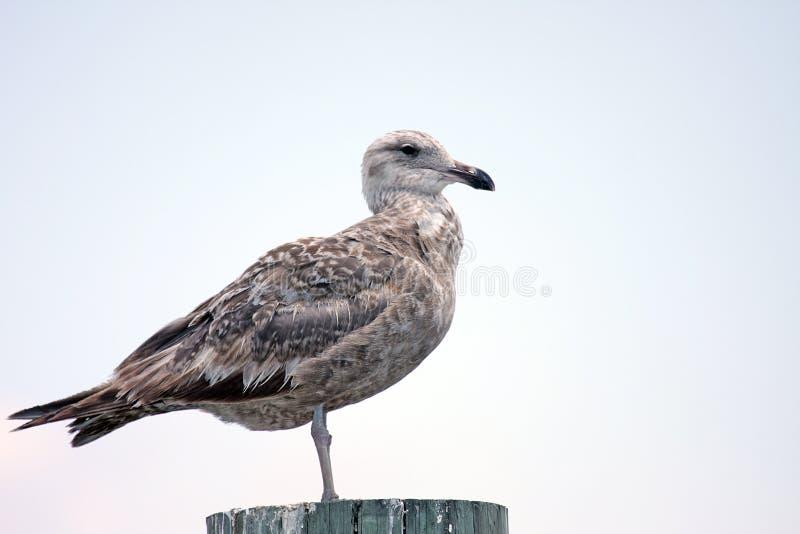 Juvenile Seagull Royalty Free Stock Photos
