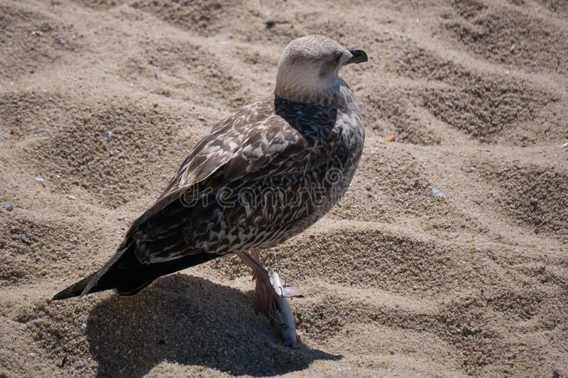 Juvenile seagull / herring gull with foot impaled on a discarded fishing hook royalty free stock photography
