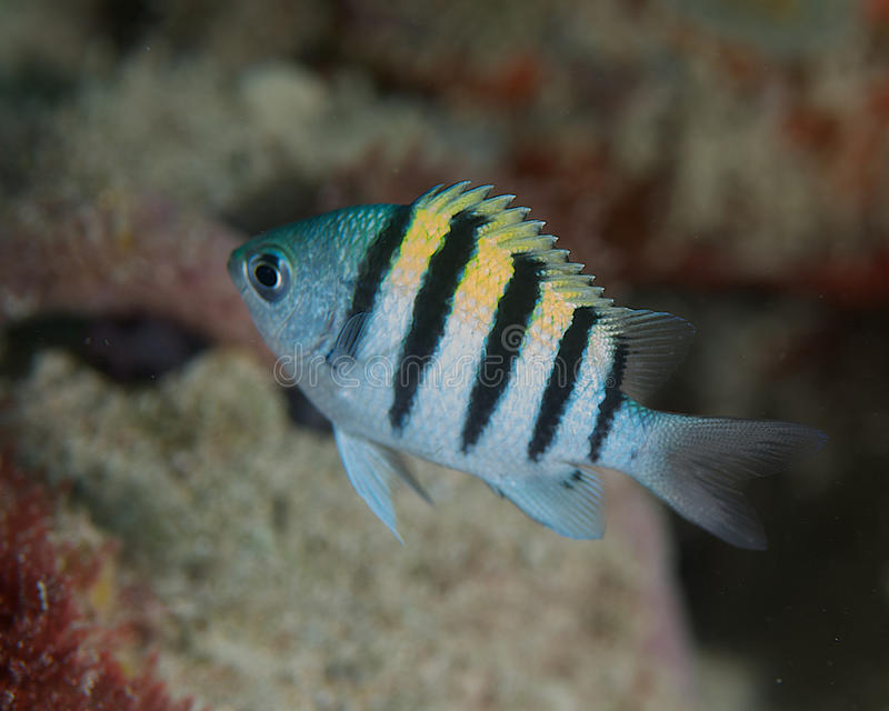 Juvenile Sergeant Major-Abudefduf saxatilis. Picture taken on reef in south east Florida royalty free stock images