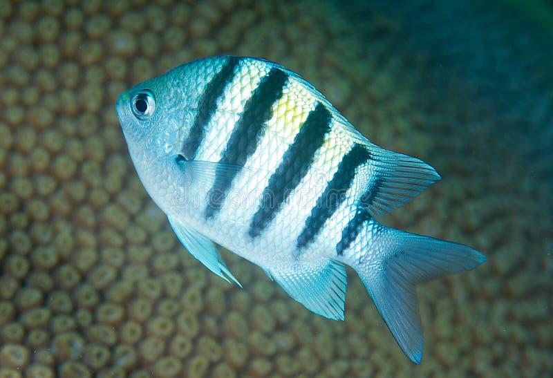 Juvenile Sergeant Major-Abudefduf saxatilis. Picture taken on reef in south east Florida stock image