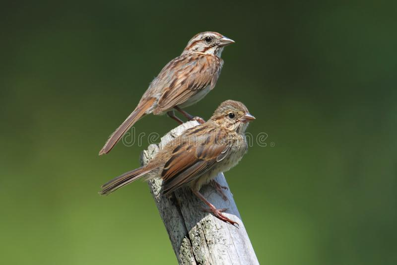 Download Juvenile Song Sparrow (Melospiza Melodia) Royalty Free Stock Photography - Image: 25691907