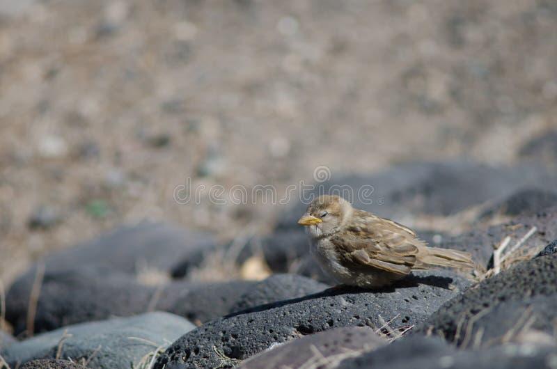 Juvenile of spanish sparrow. royalty free stock photos