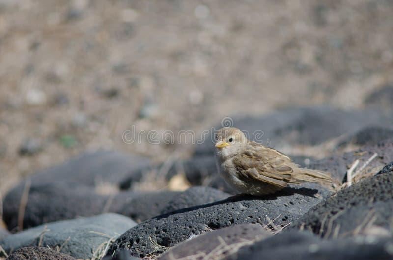 Juvenile of spanish sparrow. stock photos