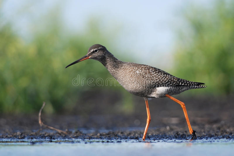 Spotted Redshank. Juvenile Spotted Redshank wading in mud stock photo