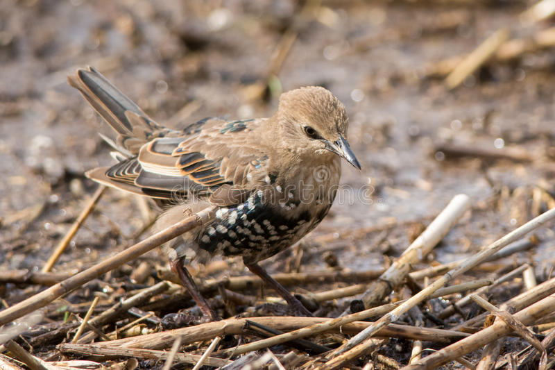 Juvenile starling royalty free stock photo