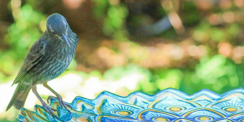 Juvenile Starling-birdbath. Juvenile Starling perched on the edge of a blue glass bird bath with blur back ground stock images