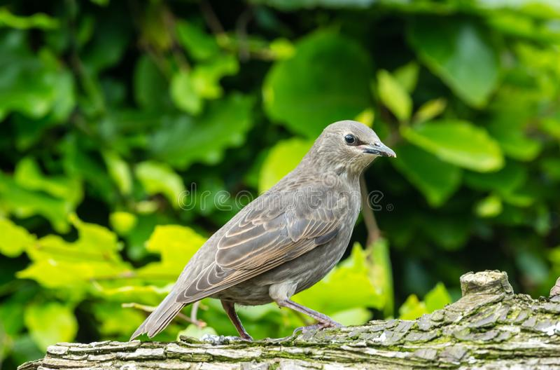 Juvenile starling perched on a log facing right in natural garden habitat. Juvenile starling, Scientific name: Sturnus vulgaris, facing right and perched on a stock photos