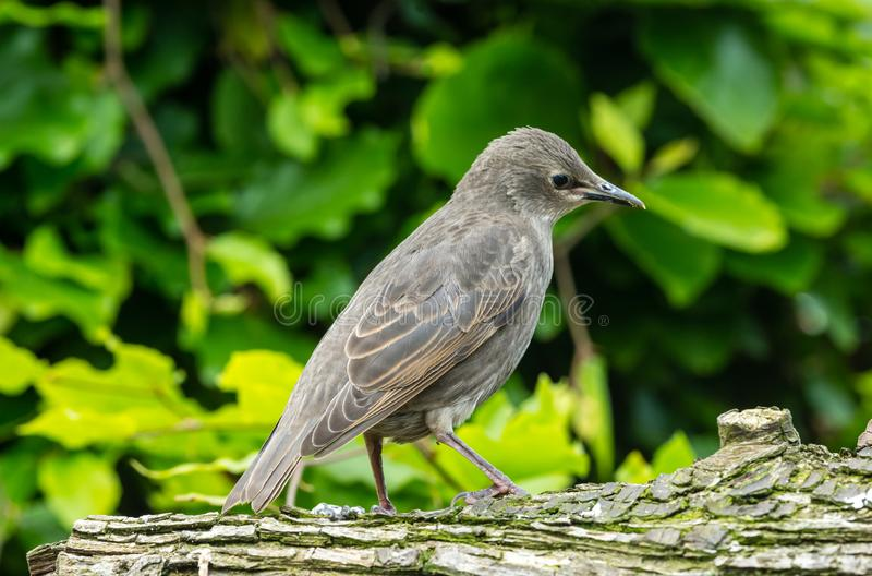 Juvenile starling perched on a log facing right in natural garden habitat. Juvenile starling, Scientific name: Sturnus vulgaris, facing right and perched on a stock photography