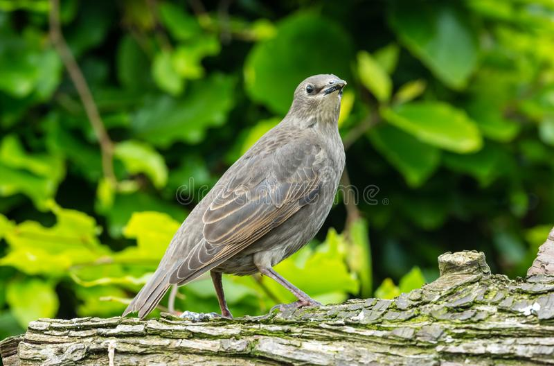 Juvenile starling perched on a log facing right in natural garden habitat. Juvenile starling, Scientific name: Sturnus vulgaris, facing right and perched on a royalty free stock photo