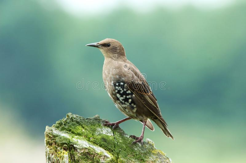 Juvenile Starling Posing On Wood Stump. This juvenile Starling perched on a wood stump at the side of the road. The trees across the meadow creates a beautiful royalty free stock image