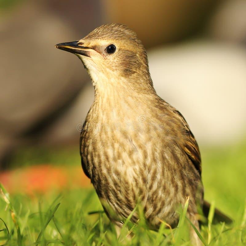 Juvenile starling on lawn. Juvenile starling standing on lawn Sturnus vulgaris stock photography