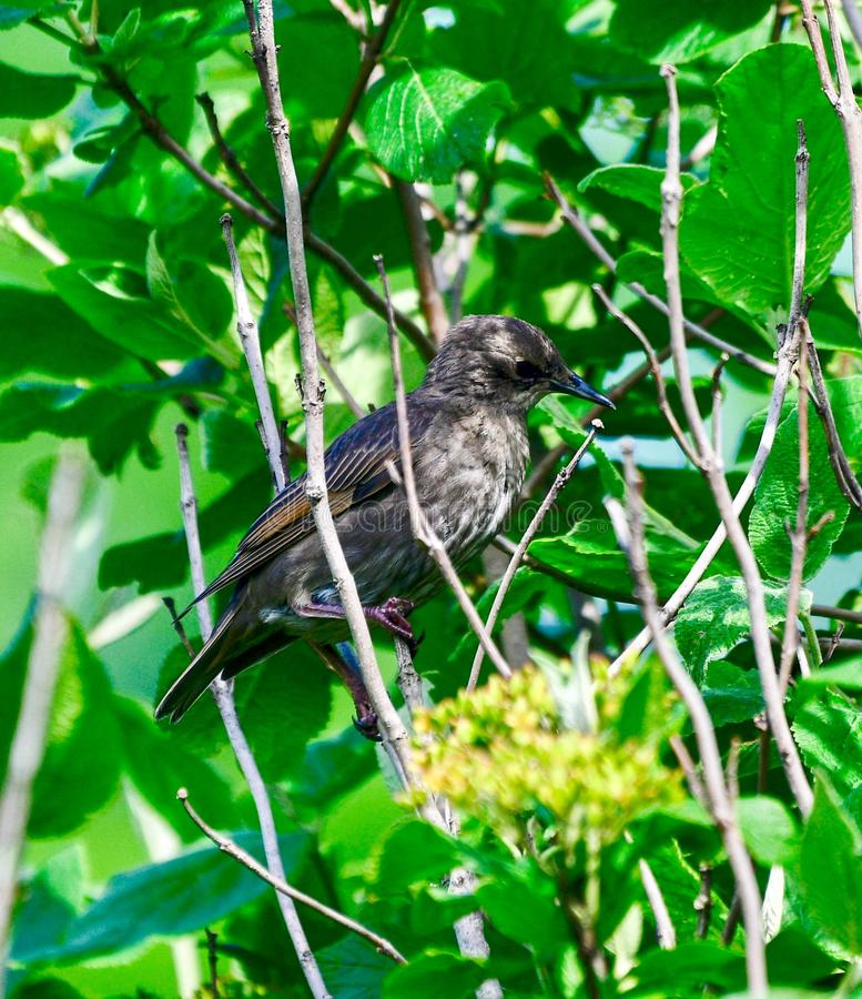 A Juvenile Starling. This is a Summer picture of a Juvenile Starling perched in a hedge in the Montrose Point Bird Sanctuary on Lake Michigan located in Chicago royalty free stock photos