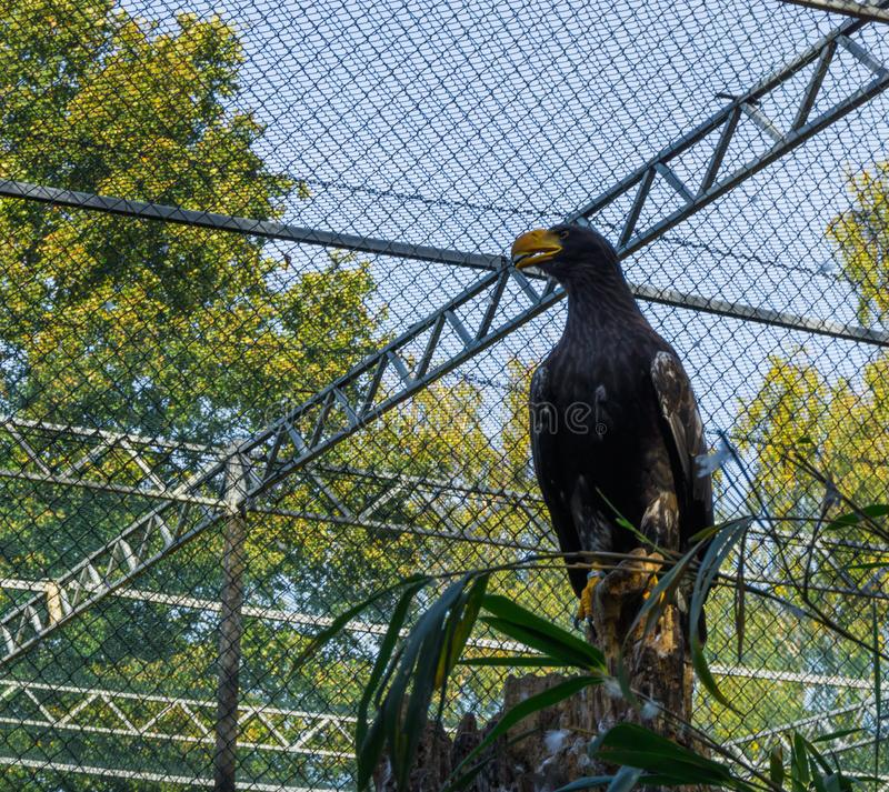 Juvenile stellers sea eagle sitting on a tree stump, a big bird from the ocean of japan stock images