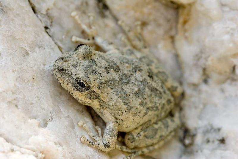 Juvenile tree frog royalty free stock photo