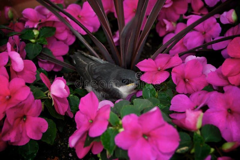 Juvenile Tree Swallow stock photo