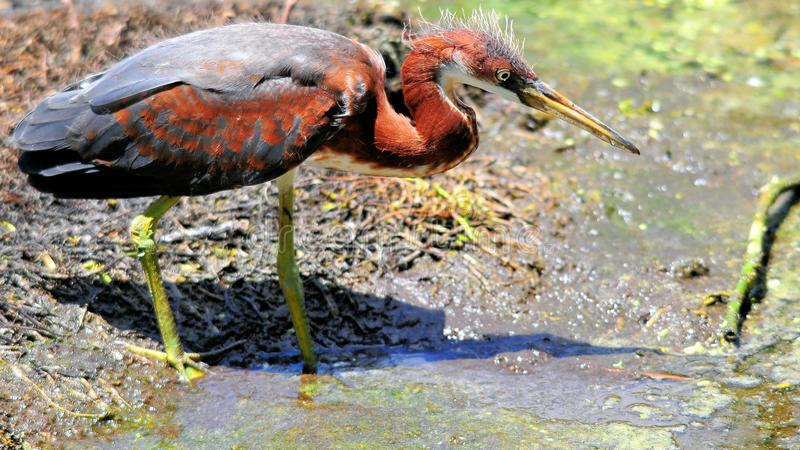Juvenile tricolored heron bird in wetlands royalty free stock images