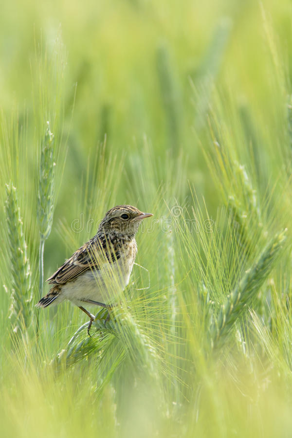 Juvenile Whinchat. royalty free stock photography