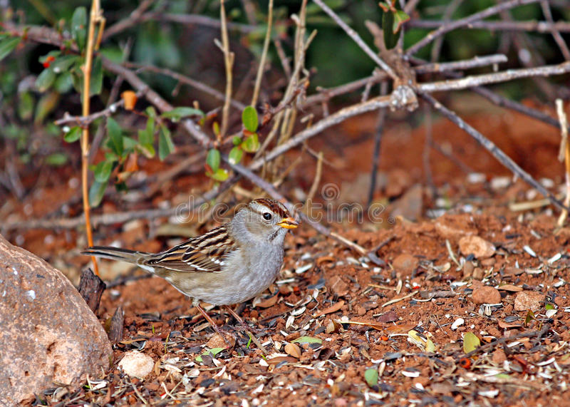 Download Juvenile White Crowned Sparrow Stock Photo - Image: 28669136